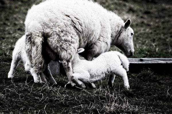 20210114 TJFrog Website - Sheep - 001