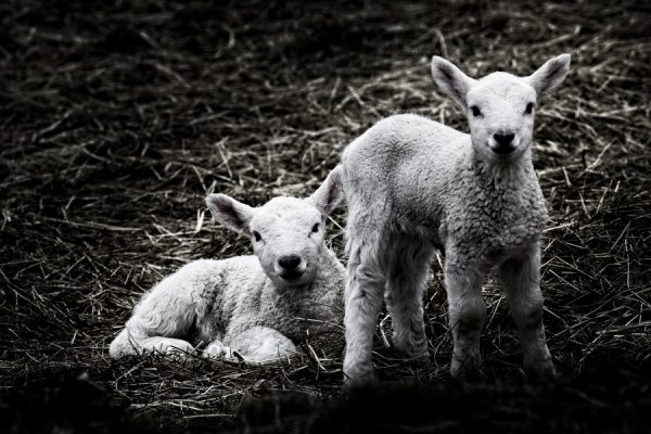 20210114 TJFrog Website - Sheep - 003